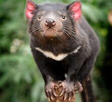 Tasmanian Devil by David Bellamy