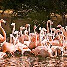 Flamingos by Freelancer