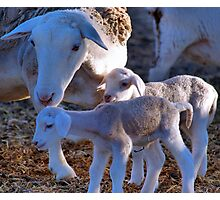 PRIVATE COLLECTION TWO - My sheep Photographic Print