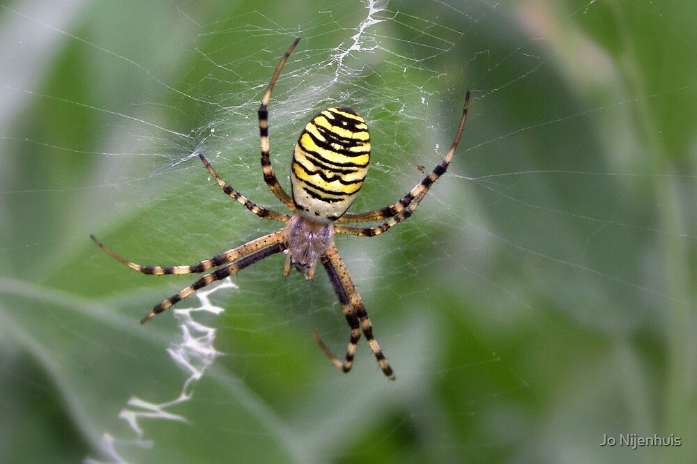 Wasp Spider by Jo Nijenhuis