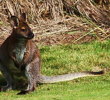 bennett's wallaby by Steve Scully