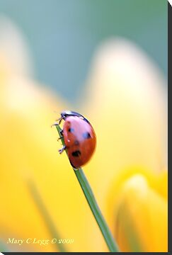 Seven spot lady beetle against a yellow crocus by pogomcl