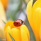 Ladybird beetle  on edge of a crocus. Coccinella septempunctata by pogomcl