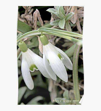 Snowdrops Galanthus nivalis Poster