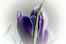 Crocus in the Mist  by Elaine  Manley
