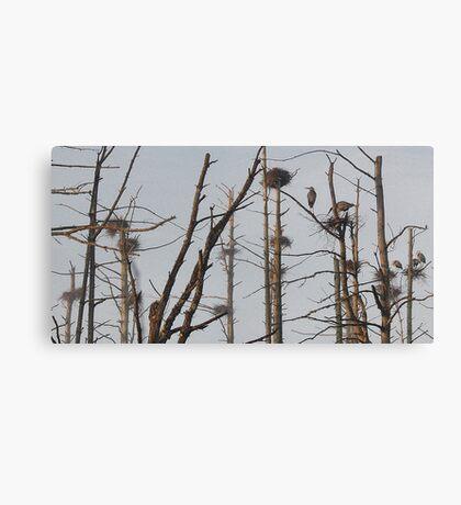 Blue Heron Rookery - Bridgton, Maine Canvas Print