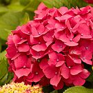 Pink Hydrangea in Brittany, France by Buckwhite