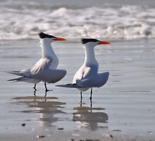 caspian terns on beach by cetrone