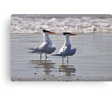 caspian terns on beach Canvas Print