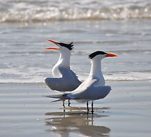 caspian tern singing on beach by cetrone