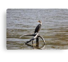 immature double crested cormmorant Canvas Print