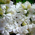 White Lilacs in Bloom by ECH52