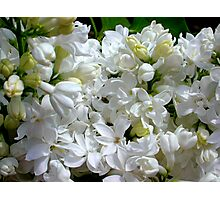 White Lilacs in Bloom Photographic Print