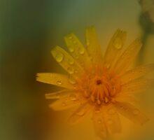 Dewy Dandelion © Vicki Ferrari Photography by Vicki Ferrari