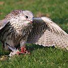 Birds of Prey ~ by Anne-Marie Bokslag by Anne-Marie Bokslag