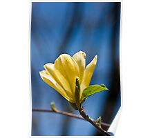 Yellow, Yellow...Yellow Blossom on Blue Sky Poster
