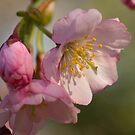 Cherry Blossom Time by ElyseFradkin