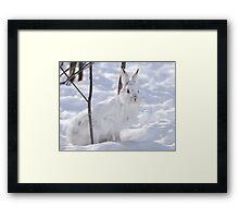 Snowshoe Hare  Framed Print