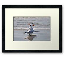 caspian terns  Framed Print