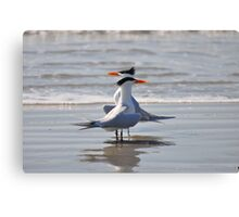 caspian terns  Canvas Print