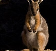 Juvenile Yellow-footed Rock Wallaby by Neville Jones