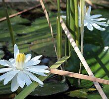 Water Lily by May-Le Ng