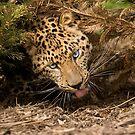 Amur Leopard Cub by mrshutterbug