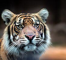 Tiger by May-Le Ng