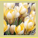 Yellow crocus in early spring  A by pogomcl