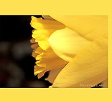 Portrait of a jonquil B by pogomcl
