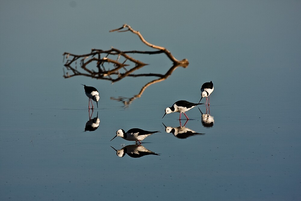 Four Black Winged Stilts Reflected by Hedoff