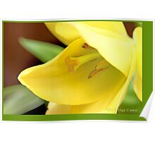 Lily Golden Splendor A Poster