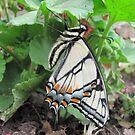 butterfly by carol selchert