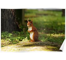 A red squirrel Poster