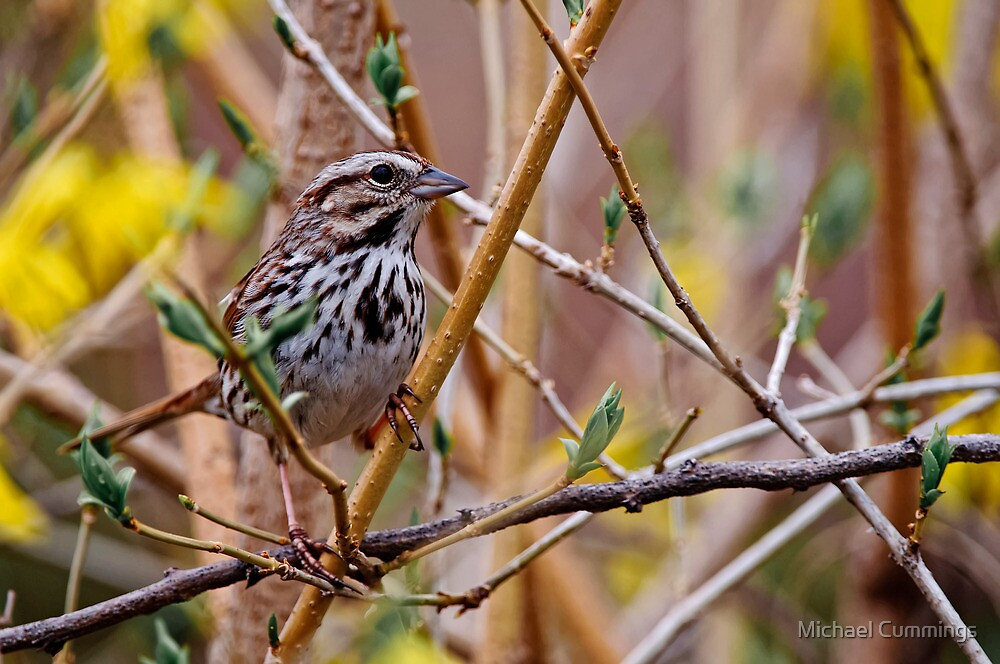 Song Sparrow on Forsythia Shrub - Ottawa, Ontario by Michael Cummings