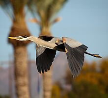 Great Blue Heron by Chris Heising