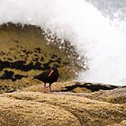 sooty oystercatcher by col hellmuth
