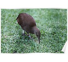 Lord Howe Island Woodhen Poster