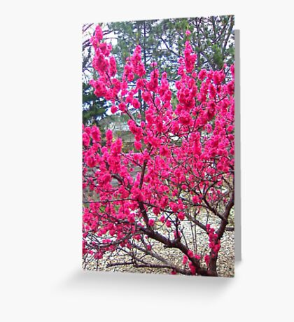 The old peach tree Greeting Card