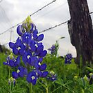Roadside Bluebonnet by Scott Chambless