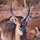 THE  WATERBUCK - Kobus ellipsiprymnus, robust and well built  by Magaret Meintjes