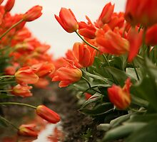 Down in the Trenches of the Tulip Fields by lizalady