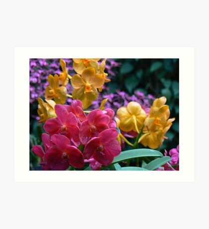 Lovely orchids at the National Orchid Garden in the Singapore Botanical Gardens Art Print