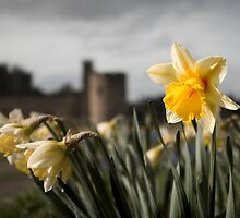 Alnwick Castle in Spring by planetloco
