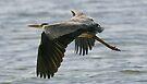 Grey Heron 1 at Mtwapa beach, Kenya by David Clarke