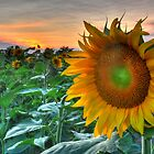Sunflower Sunset by Michael Lynch