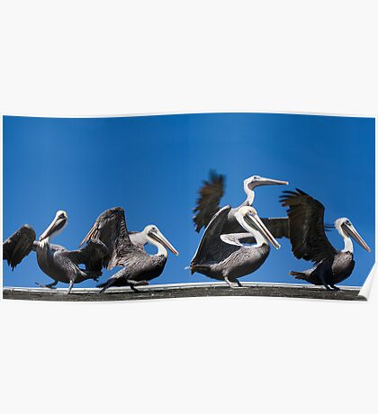 Pelicans taking flight in Florida Poster