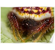 Poecilopachys Australasia - Two-spined spider Poster