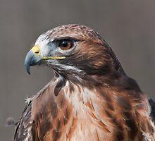 Red Tail Hawk Profile by (Tallow) Dave  Van de Laar