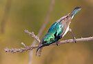 Male African Sunbird by Rudi Venter